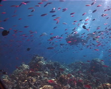 Group of scuba divers hovering on shallow coral reef with Magenta slender - stock footage