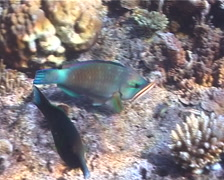 Male adult Bullethead parrotfish feeding, Chlorurus sordidus, UP1533 Stock Footage