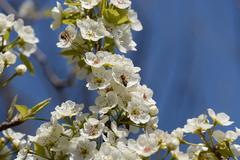 Pollination of flowers by bees pears - stock photo