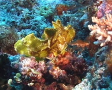 Leaf scorpionfish, Taenianotus triacanthus, UP1557 Stock Footage