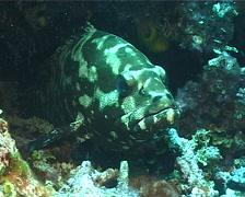 Camouflage grouper, Epinephelus polyphekadion, UP1586 Stock Footage