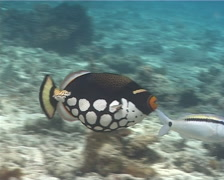Clown triggerfish swimming, Balistoides conspicillum, UP1606 Stock Footage