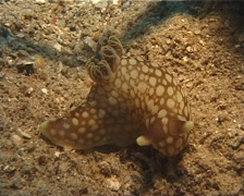 Unidentified pale spot fat brown slug feeding, Gymnodoris sp. Video 1614. Stock Footage