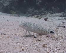 Speckled sandperch, Parapercis hexophtalma, UP1627 Stock Footage