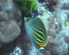 Dot-and-dash butterflyfish feeding, Chaetodon pelewensis, UP1660 Stock Footage