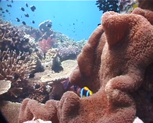 Mertens anemone swimming on shallow coral reef, Stichodactyla mertensii, UP1636 Stock Footage