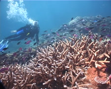 Male model scuba diver holding on to the bottom on shallow coral reef with mixed Stock Footage