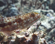Reef lizardfish, Synodus variegatus, UP1716 Stock Footage