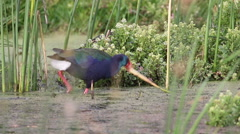 African Swamphen feeding on the base of reeds in a pond in South Africa Stock Footage