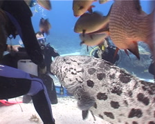 Potato cod feeding in fish feeding arena, Epinephelus tukula, UP1758 Stock Footage