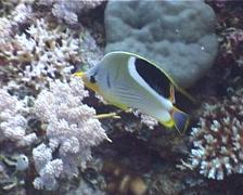 Saddled butterflyfish feeding, Chaetodon ephippium, UP1781 Stock Footage