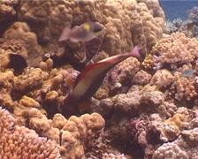 Female adult Bicolor parrotfish feeding, Cetoscarus bicolor, UP1785 Stock Footage