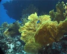 Red sea fan, Annella sp. Video 1790. Stock Footage