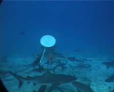 Grey reef shark swimming and schooling in fish feeding arena, Carcharhinus Stock Footage