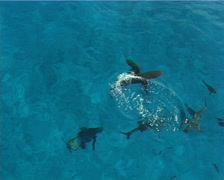 Grey reef shark feeding and schooling on water surface, Carcharhinus - stock footage