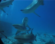Grey reef shark swimming and schooling in fish feeding arena, Carcharhinus - stock footage