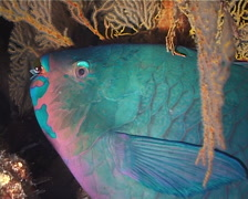 Minifin parrotfish sleeping at night, Scarus altipinnis, UP1840 Stock Footage