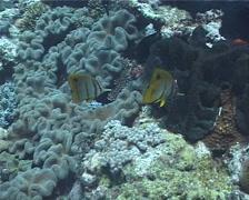 Beaked coralfish feeding, Chelmon rostratus, UP1873 Stock Footage