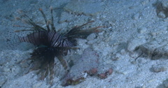 Common lionfish feeding on sand and coral rubble at night, Pterois volitans, 4K Stock Footage