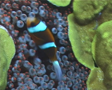 Orangefin anemonefish swimming, Amphiprion chrysopterus, UP1918 Stock Footage