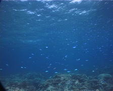 Black-axil chromis feeding and schooling on shallow coral reef, Chromis Stock Footage