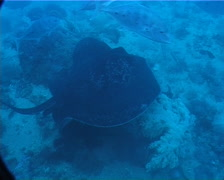 Black-blotched stingray swimming on deep sand and coral rubble, Taeniura meyeni, Stock Footage