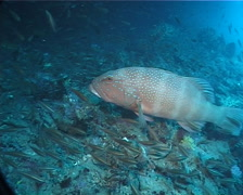 Barcheek coral trout hovering, Plectropomus maculatus, UP1974 Stock Footage