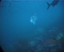 Giant trevally swimming and schooling, Caranx ignobilis, UP2024 Stock Footage