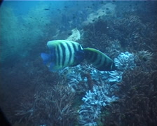 Six-banded angelfish feeding, Pomacanthus sexstriatus, UP2022 Stock Footage