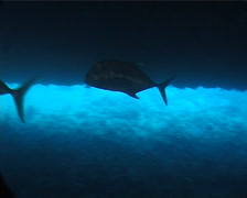 Yellowspotted trevally swimming on deep historic shipwreck teaming with marine Stock Footage