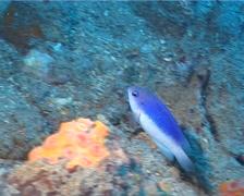 Australian damsel swimming, Pomacentrus australis, UP2046 Stock Footage