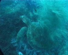 Green turtle, Chelonia mydas, UP2069 Stock Footage
