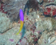 Bicolour dottyback swimming, Pictichromis coralensis, UP2059 Stock Footage