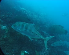 Humphead maori wrasse swimming, Cheilinus undulatus, UP2070 Stock Footage