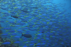 Blue and gold fusilier swimming and schooling, Caesio teres, UP2116 Stock Footage