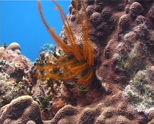 Golden crinoid feeding on shallow coral reef, Nemaster rubiginosa, UP2201 Stock Footage