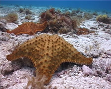 Reticulated sea star walking on shallow coral reef, Oreaster reticulatus, UP2206 Stock Footage