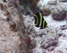 Juvenile French angel swimming, Pomacanthus paru, UP2225 Stock Footage