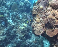 Grey angel swimming on shallow coral reef, Pomacanthus arcuatus, UP2246 Stock Footage