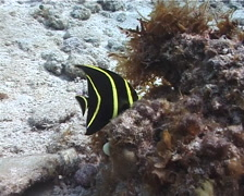 Juvenile French angel feeding, Pomacanthus paru, UP2231 Stock Footage