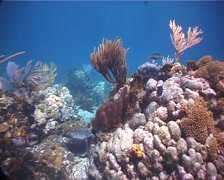 Great barracuda swimming on shallow coral reef, Sphyraena barracuda, UP2293 Stock Footage