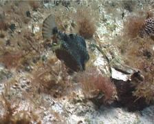 Smooth trunkfish feeding, Rhinesomus triqueter, UP2322 Stock Footage