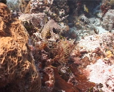Smooth trunkfish feeding, Rhinesomus triqueter, UP2324 Stock Footage