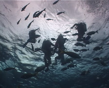 Group of scuba divers floating on water surface with Bermuda chub in Mexico, Stock Footage