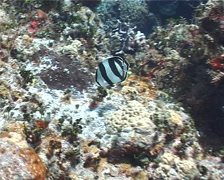 Banded butterflyfish feeding on shallow coral reef, Chaetodon striatus, UP2339 Stock Footage