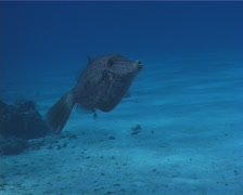 Scrawled filefish swimming, Aluterus scriptus, UP2445 - stock footage