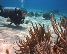 Female model scuba diver hovering on shallow coral reef with Trumpetfish in Stock Footage