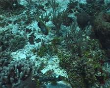 Whitespotted filefish feeding, Cantherhines macrocerus, UP2461 - stock footage