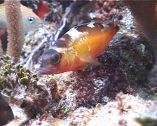 Tobacco fish hovering, Serranus tabacarius, UP2524 Stock Footage