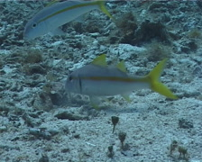 Yellow goatfish feeding and schooling, Mulloidichthys martinicus, UP2486 Stock Footage